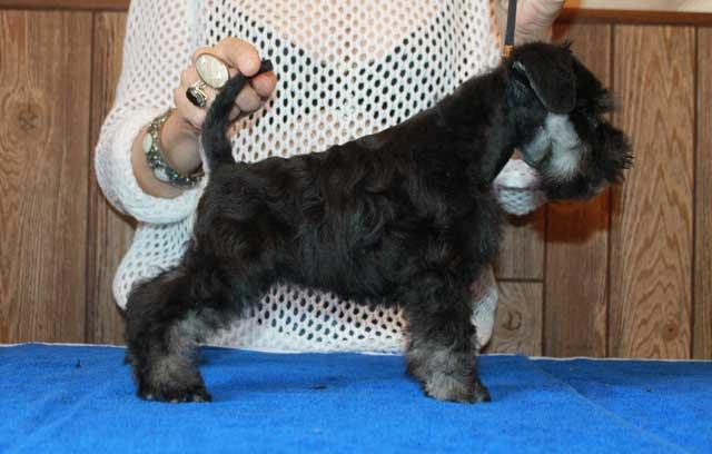 Цвергшнауцера щенки черный с серебром
