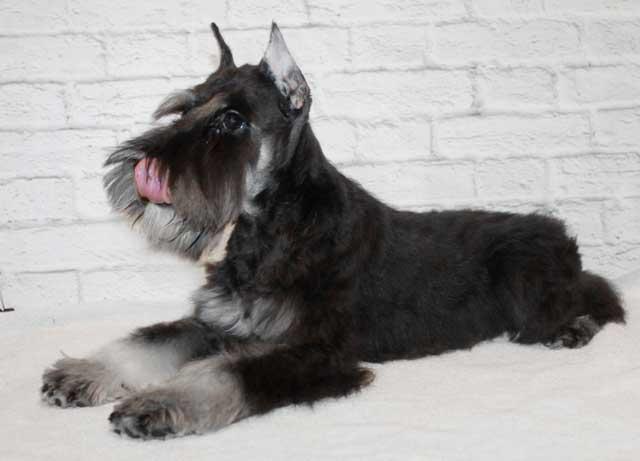 Цвергшнауцер черный с серебром